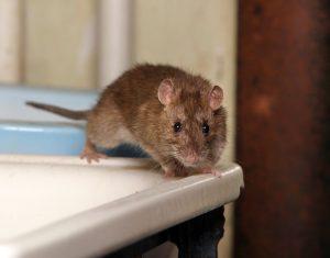 rats in toilet