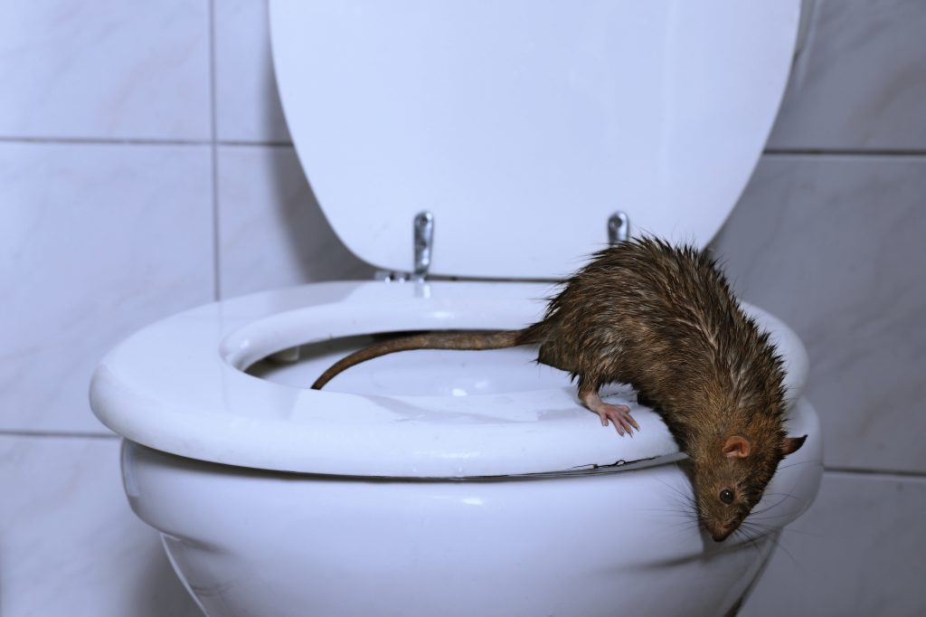 what is the possibility of rat swimming up my toilet