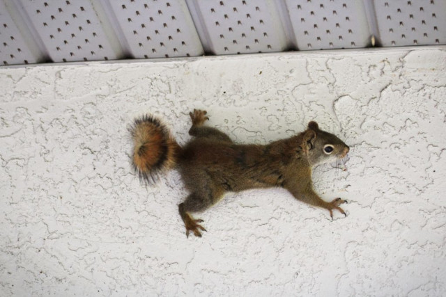 how do squirrels get in the attic