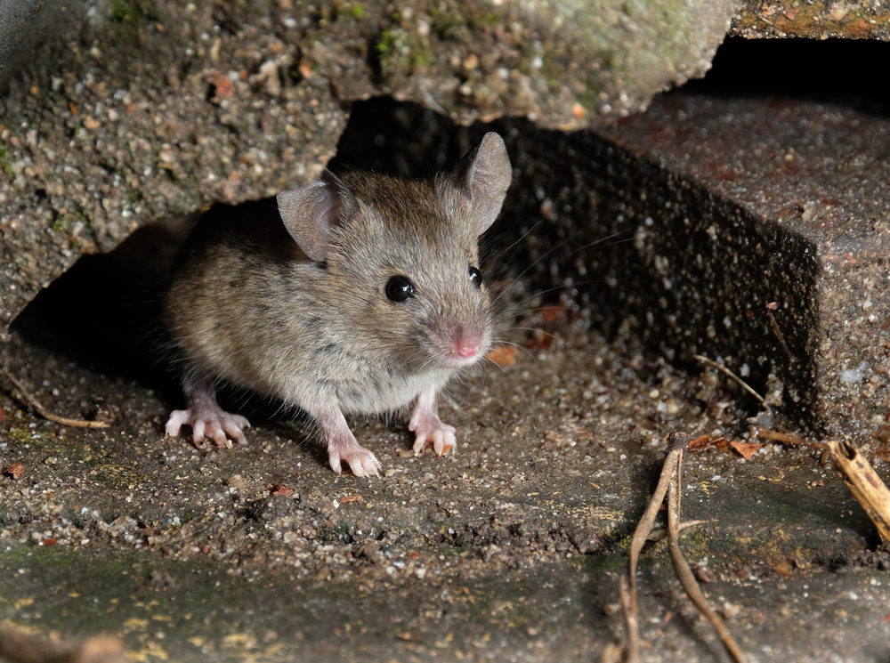 Mouse Traps Mistakes That You Are Making