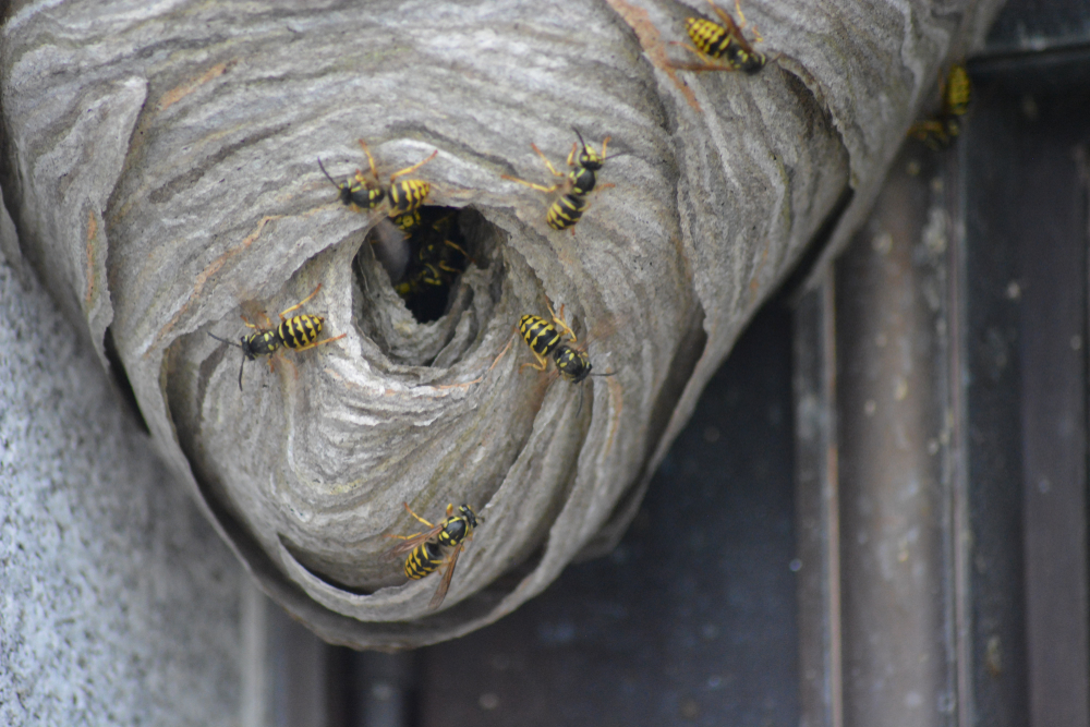 Can a Yellow Jacket Sting More Than Once